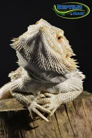 Bearded Dragon Heat Lamp Broke by 323 Best Bearded Dragons Images On Pinterest Reptiles Bearded