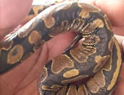Ball Python Shedding Eating by Wrinkled Skin