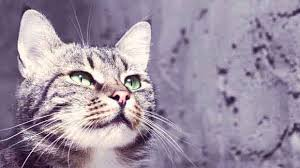 clindamycin for cats antibiotics for cats petcarerx