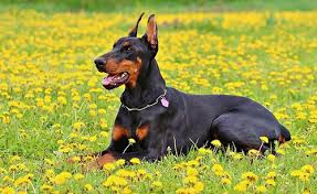 do dobermans shed the potential causes and solutions of excessive