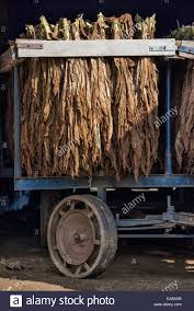 Tobacco Leaves Drying In An Amish Barn, Lancaster County Stock ... Amish Buggy Parked In A Barn Lancaster County Pennsylvania Usa Beautiful Red Barns Pa As Shown Stories Barn Stock Photos Images Alamy Reclaimed Wood Fniture Handmade Pa The Choo Model Train Magic See Mom Click Two Long With Metal Silos At Close Up Funny Sleepy Tabby Kitten Sleeping On Bench 123 Best Custom Kitchens Wood Images Pinterest 30 Flooring New Hardwoods
