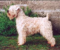 Do Irish Wheaten Terriers Shed by Soft Coated Wheaten Terrier Dog Breed Information Puppies U0026 Pictures