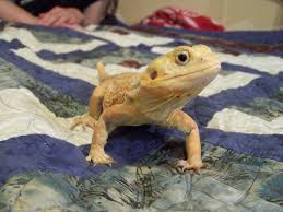 Bearded Dragon Shedding In Patches by Cutie Cora Silky Bearded Dragon With No Scales More Pics