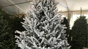 Silvertip Fir Christmas Tree by Christmas Tree Shortage Hits Southwest Florida