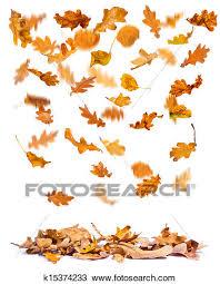 Autumn oak leaves falling