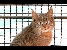 mountain cat rarest cats in the world mountain cat