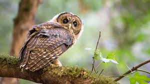 Was An Owl The Real Culprit In The Peterson Murder Mystery? | Audubon Watch The Secret To Why Barn Owls Dont Lose Their Hearing 162 Best Owls Images On Pinterest Barn And Children Stock Photos Images Alamy Owl 10 Fascating Facts About Species List Az 210 Birds Drawing Photographs Of Cave By Tyler Yupangco 312 Beautiful Birds