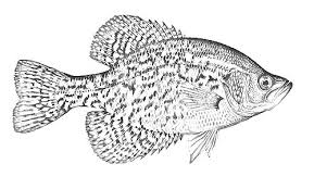 Free Coloring Pages Of Crappie