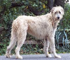 Red White Irish Setter Shedding by Irish Wolfhound Info Temperament Puppies Pictures Lifespan
