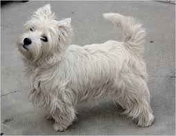 Cute Low Shedding Dogs by 13 Low Shed Family Dog Breeds Cute Dog Breeds That Dont