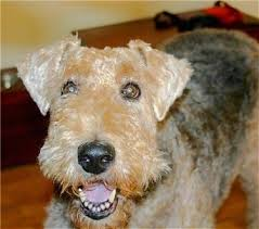 Do Airedale Puppies Shed by Airedale Terrier Dog Breed Information And Pictures