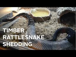 timber rattlesnake shedding in hd the nature tapes youtube