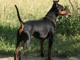 miniature pinscher information and facts dog breeds