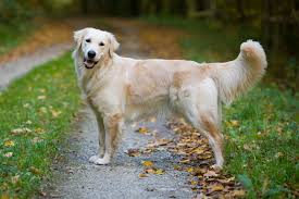 Large Dog Breeds That Dont Shed by 15 Best Dog Breeds For Travel Types Of Dogs For Pet Travel