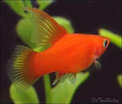 poisson eau douce aquarium tropical 893 best beaux poissons d eau douce tropicale images on