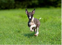 Do Italian Greyhounds Shed A Lot by Here Are The 8 Best Dog Breeds For Apartment Living Business Insider