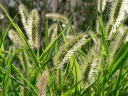 Deadly When Dry: 10 Things To Know About Foxtail Plant Awns – Dev ... Flickr Photos Tagged Heltotrichon Picssr Protect Your Pet Against Cheat Grass And Foxtail Research Spotlight Using Phenology To Help In The Fight Laba1 A Domescation Gene Associated With Long Barbed Awns Interesting Stipapulchra Deadly When Dry 10 Things Know About Plant Dev Agrilife Triticale Offers Grazing Benefits Options Isolated Ear Of Wheat With Stock Photo Image 36250058 Vascular Plants Of Gila Wilderness Bromus Carinatus Dogs Risks Symptoms Treatment Petmd Fileoplismenus Undulatifolius Awnsjpg Wikimedia Commons Diversity Free Fulltext Barley Developmental Mutants The