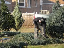 Chicago Christmas Tree Recycling 2013 by Southwest Chicago Post Christmas Trees Coming Full Circle