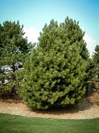 Christmas Tree Types by Austrian Pine Trees Buy Online At Nature Hills Nursery