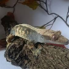 Crested Gecko Shedding Behavior by Crested Gecko Morph Guide Crested Geckos Pinterest Crested