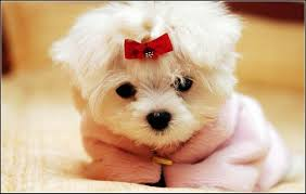 Non Shedding Hypoallergenic Small Dogs by Small Dogs That Don U0027t Shed Dog Pet Photos Gallery 5nbqml9bvx