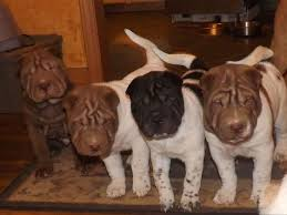Do Shar Peis Shed Hair by Donna Morrow Is From North Carolina And Breeds Chinese Shar Pei