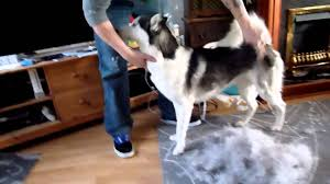 Dogs That Dont Shed Hair Much by Husky Shedding Youtube