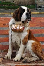 Do Smooth Coat St Bernards Shed by 124 Best Proud Mommy Images On Pinterest Dogs Saint Bernards