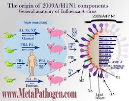 Asymptomatic Viral Shedding Influenza by Influenza Facts Taxonomy And Myths Life Cycle Health