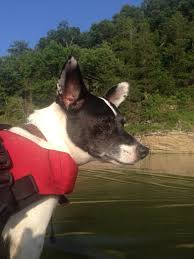 Stop Rat Terrier Shedding by Travel Tails Page 2