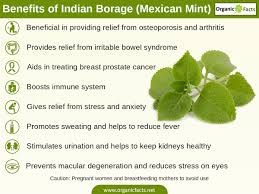 Pumpkin Seeds Prostate Pubmed by 8 Amazing Benefits Of Indian Borage Mexican Mint Organic Facts