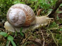 cuisiner les escargots de bourgogne ramassage et préparation des escargots de bourgogne jean