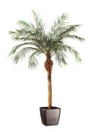 prix des palmiers exterieur palmier en pot exterieur photos de conception de maison