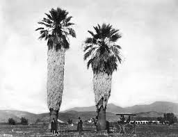 Men Rest Beneath Two Fan Palms Perhaps Planted By Spanish Missionaries In Front Of