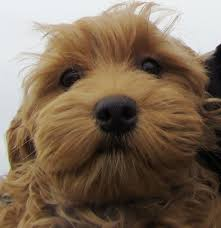 Cute Low Shedding Dogs by Ganaraskan Puppy Google Search Dogs Pinterest King Charles