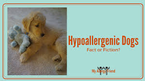 Non Shed Dog Breeds Hypoallergenic by Hypoallergenic Dog Breeds Fact Or Fiction