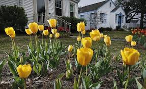when is the best time to plant tulips in the new orleans area dan