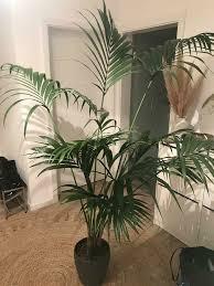 große kentia palme
