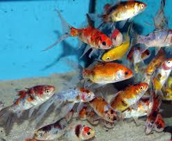 aquarium poisson prix nos poissons poissons exotiques poissons eau froide et poissons