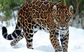 Incredible Jaguar