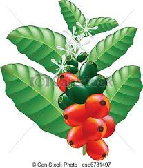 Fruits And Flowers Of Coffee Tree Vector Illustration