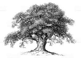 Old engraving of an oak tree isolated on white Scanned at 600
