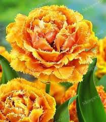 free shipping us orange cetar membahana 2 pcs tulip bulbs not