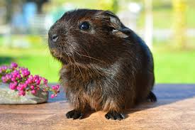 Can Guinea Pigs Eat Pumpkin Seeds by Natural Diet For Guinea Pigs Greenpet