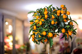 orangen und zitronenbäume überwintern selbermachen de