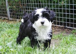 Dogs That Shed Hair by Tibetan Terrier