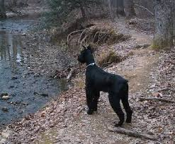 Do Giant Schnauzer Dogs Shed Hair by Giant Schnauzer Dog Breed Information And Pictures
