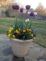 forcing tulips brown bag your bulbs and place in the fridge for