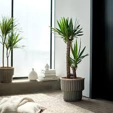 yucca elephantipes pflanze palmlilie 2 stämme 24 cm