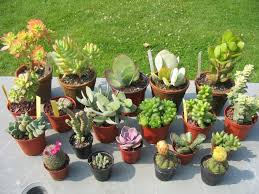 entretien plante grasse d interieur plantes grasses cactus d intérieur pivoine etc